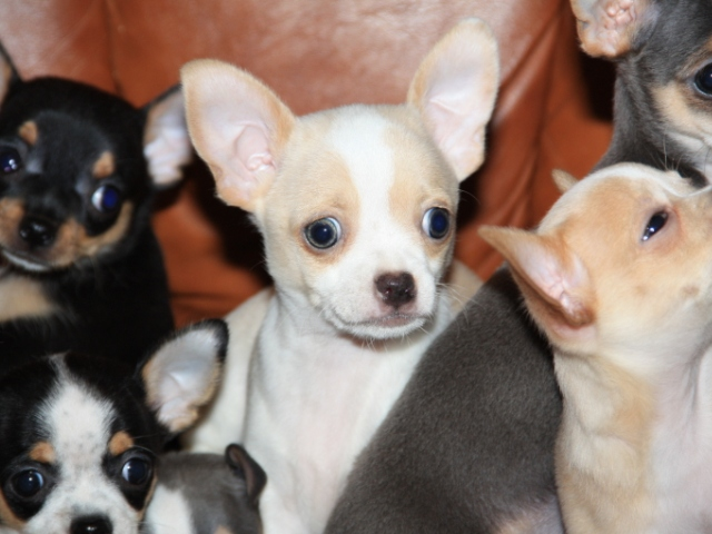 Chihuahua puppy, 2 months old and 1 year old, dressed up